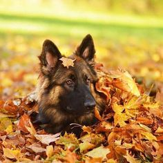 Lost in Fall  Featured Account @farcuna  #gsdsofigworld #gsd #germanshepherd #germanshepherdsofinstagram #dogsofinstagram #dogs #fall #gorgeous #leaves #autumn  by gsdsofigworld