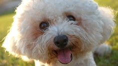 Another Super cute slideshow with awesome photos! This time it's lovely bichon! Bichon is bred to be a companion dog and it's very friendly and cute. There are several breeds: Maltese, Bichon Frise, Coton de Tulear, Havanese, Bolognese, Bolonka and Löwchen. Bichon Frise is simply called a bichon, almost all over the world. Very cute and cuddly! Must see!