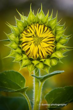 ~~sunflower bud by k dunlap photography~~