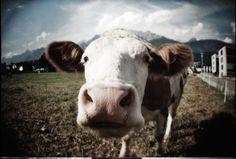 mmuuuuhhh! Lomography, Cow, Animals, Animaux, Animal, Animales, Animais