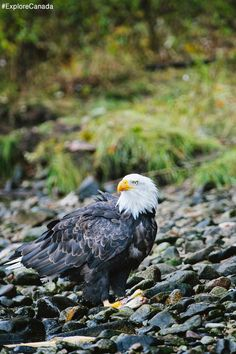 Majestic eagle in the Great Bear Rainforest, British Columbia Canadian Wildlife, O Canada, Central America, British Columbia, Continents, Bald Eagle, Beautiful Places, Cardinals, Bird Feeders