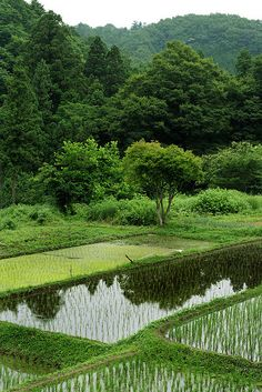Rice paddies in Japan.  A rice paddy can be found anywhere in Japan, even in the middle of major cities.  1 acre field - not unusual.