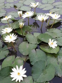 Misty Dawn, Lotus Pond, Purple Garden, Seen, Lotus Flower, Wild Flowers, Nature, Artwork, Plants