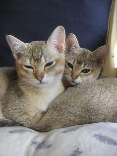 2 golden burmilla's   Flickr - Photo Sharing!