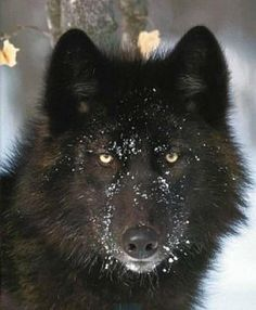 wolf husky mix - this looks like our dog who died a few years ago. So beautiful, Wolf Photos, Wolf Pictures, Animal Pictures, Wolf Love, Bad Wolf, Beautiful Creatures, Animals Beautiful, Cute Animals, Tier Wolf