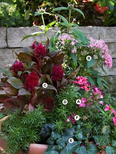 The big, rounded heads of geranium flowers are ideal for contrasting spiky plants, such as celosia, and are accented beautifully by fine-texture foliage, such as asparagus fern. A: Geranium (Pelargonium 'Pinto Pink') -- 1 B: Pentas 'Graffiti Pink' -- 1 C: Celosia 'Smart Look Red' -- 1 D: Asparagus fern (Asparagus densiflorus 'Sprengeri') -- 1 E: Ivy (Hedera colchica) -- 1 F: Verbena 'Lanai Royal Purple with Eye' – 1