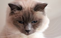 The Birman Cat Breed - A Complete Guide by The Happy Cat Site Buy A Kitten, Kitten Care, Buy A Cat, Ragdoll Cat Breed, Polydactyl Cat, Gato Bobtail, Siamese Cats, Cats And Kittens, Kitty Cats