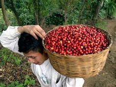 Recuperación de la cosecha de café en Colombia