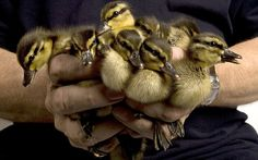 Unlucky: A brood of 13 orphaned ducklings receiving tender loving care at the hospital this month
