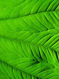 Elephant Ear by *Omnia*  Luscious organic green leaf pattern.
