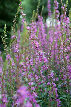 Purple Garden, Garden Plants, Perennials, Planting Flowers, Image, Beautiful Flowers, Om, Google, Tips