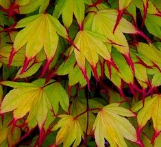 Gardening Autumn - Acer palmatum Tsuma-gaki - With the arrival of rains and falling temperatures autumn is a perfect opportunity to make new plantations Acer Garden, Garden Shrubs, Garden Trees, Shade Garden, Rockery Garden, Trees And Shrubs, Trees To Plant, Plant Leaves, Leaves Of Trees