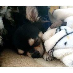 * 最近バタバタで、 あんまりコメント返せてない😢💨 * 返そうと思った時には遅い時間だったり… 申し訳ない気持ちでいっぱいです😭 ごめんなさい😢⤵⤵ * お昼寝なレオたん🐭で⏩ おやすみなさい(✿•́Oก̀)ZZz…♥♥ * * #お昼寝#sleepy#sleep#dog#犬#チワワ#チワワ部#ちわわ#ふわもこ部#ブラックタン#ロングコートチワワ#子犬#doglove#chihuahua#dogsofinstagram#愛犬#puppy#パピー#ペット#pet#instadog#followme#cute#love#pretty#likel4ike#Japan#follow
