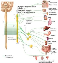 The Parasympathetic Division III (Oculomotor) – constriction of pupils. VII (Facial) – lacrimal gland (tears), nasal mucus glands, salivary glands IX (Glossopharyngeal) – parotid gland (which is a salivary gland) X (Vagus) – heart (cardiac muscle), lungs (bronchi smooth muscle), liver/gallbladder (glands), stomach (smooth muscle and secretions), pancreas (gland), small intestine and 1st half of large intestine (smooth muscle and secretions)