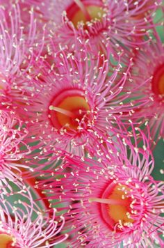 "Australian Wild Gum Blossom. ""Gum Tree"" is the most common name for the 500 kinds of Australian Eucalyptus."