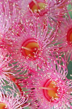 Pink Gum Blossom of the Eucalyptus Tree