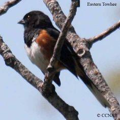 eastern north America birds | ... the eastern towhee name b l w w w family latin name eastern towhee 8