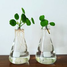 The easiest way to root those babies is to stick them in water! @liefsmetlies' has the right idea! Pilea peperomioides, in Australia, FOR SALE at www.pileaplace.com Plants Grown In Water, Room With Plants, Aquaponics Greenhouse, Hydroponic Gardening, Indoor Water Garden, Indoor Plants, Plant Aesthetic, Recycled Garden, Vases