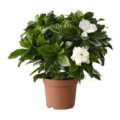 Gardenia jasminoides.  Un lugar soleado o a media sombra es lo adecuado para la Gardenia jasminoides . Después de las heladas nocturnas puede estar al aire libre. ¡No la pongas todo el día al sol!