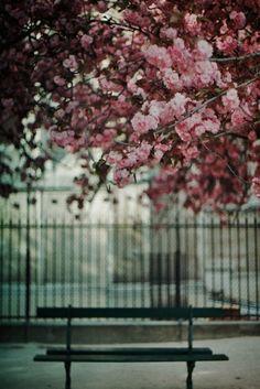 Cherry blossom tree + picnic bench