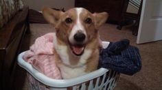 When sorting out the laundry, be sure to wash your Corgis with like colors.  Submitted by Joey's mom