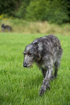 Scottish Deerhound, oh how I would love to have one of these 'gentle-giants'...