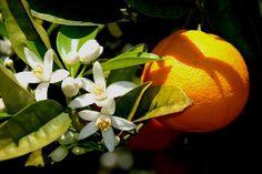 O chá de flor de laranjeira é considerado pela medicina alternativa, comoum calmante natural!!!  :)