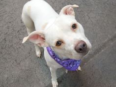 TO BE DESTROYED - 08/12/14  Manhattan Center -P   My name is GORDA. My Animal ID # is A1009561.  ***LIVED WITH CATS***   I am a female white and brown pit bull mix. The shelter thinks I am about 3 YEARS old.   I came in the shelter as a OWNER SUR on 08/06/2014 from NY 10458, owner surrender reason stated was MOVE2PRIVA.