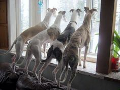 4 Greyhounds looking out the window