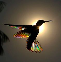 RAINBOW BALLET The photo captures the exact moment in which the sunlight penetrates the wings of a black and white Jacobin hummingbird… Hummingbird Wings, Hummingbird Symbolism, Origami Hummingbird, Hummingbird Drawing, Hummingbird House, Hummingbird Pictures, Watercolor Hummingbird, Hummingbird Cake, Tattoo Watercolor