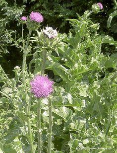 Cardo-mariano Planta medicinal protetora do fígado (hepatoprotetora), indicada contra os distúrbios do fígado e da digestão, pode ser encontrada em gotas ou cápsulas Cardo-mariano (Silybum marianum)