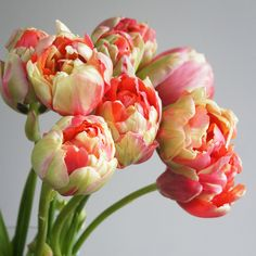 Fresh French Tulips | Farm direct flowers from Flower Muse