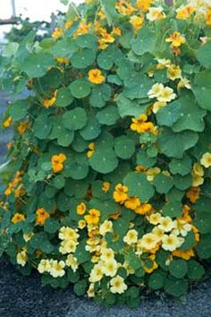 nasturtiums have a very spicy flavor. The leaves can be shopped into salads, potato salad , seafood, deviled   eggs and the flowers can be stuffed or put on cakes, whipped into butter for a spicy butter sauce   , salads, or used as decoration. Our whole family loves them.