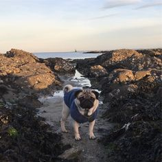 J'ai trouvé un petit #carlin #sirène dans les rochers ce matin en allant chercher des huîtres!  Found this little #pug #mermaid in the rocks whilst looking for oysters this morning! #wildencounters #wildlife #dog @pugsofinstagram