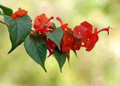 Chinesenhut (Holmskioldia sanguinea)