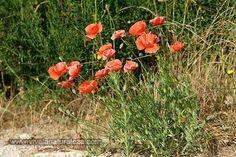"""Amapola (Papaver rhoeas L.) La amapola es una de las flores silvestres más bonitas, una auténtico regalo de la naturaleza. Algunos autores previenen sobre su potencial toxicidad, pero es bien conocido que ya los griegos y los romanos la consumían en ensaladas; y Mességué decía de ella que era """"el opio inofensivo del botiquín familiar"""". Sea como fuere, sin duda es una planta con virtudes muy útiles para el aventurero y el excursionista."""