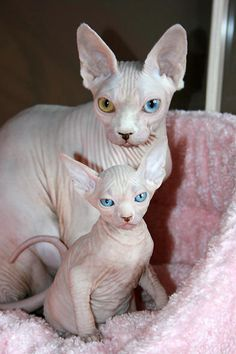 Mother hairless cat and her almost lookalike kitten....