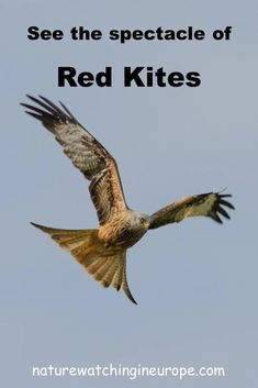 Red Kites at Gigrin Farm – Nature-watching in Europe Livestock Farming, Red Kite, Dove Bird, Kites, Small Birds, Europe, Travel Inspiration, Brecon Beacons, English Countryside