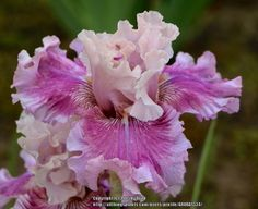 BB Iris germanica 'Absolute Cute' (Blyth, 2013)