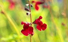 Shrubby salvias are jaunty, colourful and full of nectar.