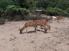 Veado-da-Córsega (Cervus elaphus corsicanus). * Ilha da Sardenha *  Itália.