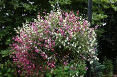 Save on Silene pendula 'Sibella' from Hayloft Brick Garden Edging, Seeds Online, Sunflower Seeds, Dream Garden, Garden Projects, Lawn, Flowers, Plants, Florals