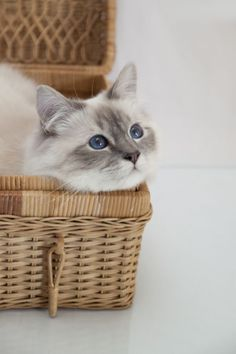 Picture of Birman Cat Breed
