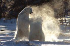 polar bears wrestling, Churchill Manitoba