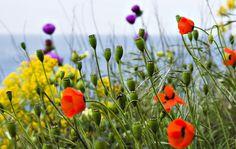Mak, Makówki, Kwiaty