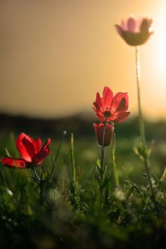 Anemones at sunset.. by Makis Bitos on 500px