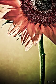 Pink Sunflower by Mrs. Santa Claus