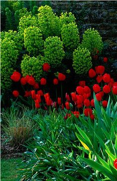 Euphorbia and Tulips. - if you have not tried Euphorbia before - please do - it is a must have. So well mannered and long blooming.