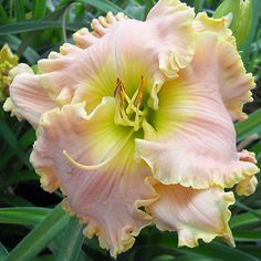 2014 WHISPERED SECRETS Daylily. Gold Coast Daylilies