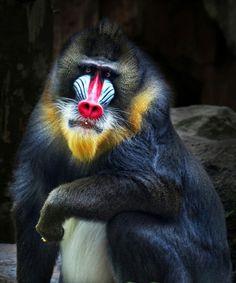 Ape Monkey, Monkey King, Primates, Mammals, Beautiful Creatures, Animals Beautiful, Mandrill Monkey, Animals And Pets, Cute Animals
